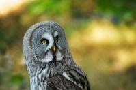 Burrowing owl,Athene cunicularia.