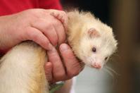 Wriggly ferret