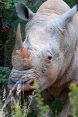 Rhino with horns