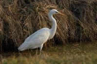 Large Egret, Egretta alba