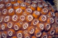 Great star coral (Montastraea cavernosa)