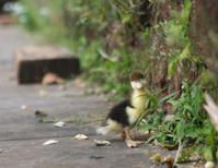 Little ducky