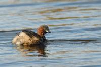 Little Grebe paddling on lake