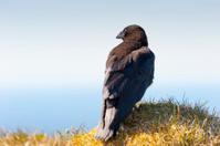 corvus corax, iceland