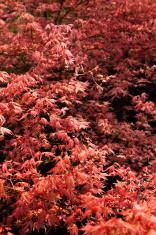 Gardening: Japanese Maple