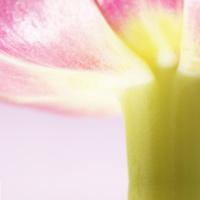 artistic tulip (Tulipa), macro, very close
