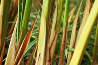 Long spiky leaves (lanceolate, lance-shape)