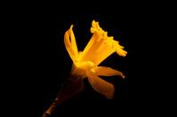 Yellow Daffodil flower