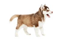 Siberian husky puppy dog