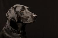 Black Labrador retriever head shot