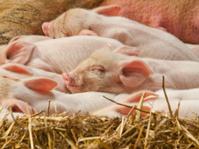Sleeping pile of Piglets