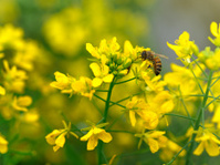 working honeybee