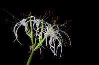Hymenocallis littoralis, Spider Lily