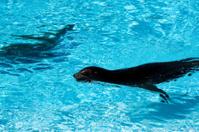 Beautiful young seal (Sea-lion) swimming