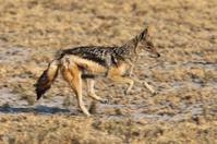 Jackal running in the African savannah