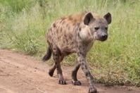 Hyena take a walk