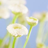 Tiny White Daisy Flowers Against Blue Sky Background