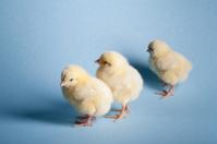 Little easter chicks