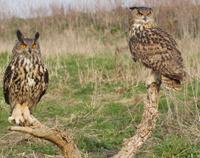 Two Eagle Owls.