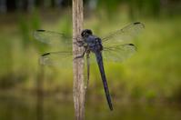 Dark Blue Dragonfly on a Reed