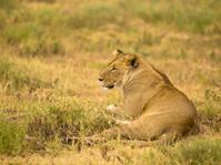 Lying  Lioness