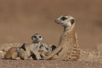 Suricate female and pups