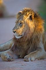 Lion in dappled Light