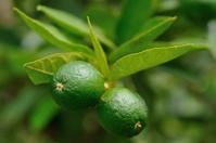 Green lemon tree