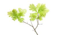 Oak tree leaves in spring