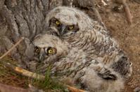 Pair of fledgling owls