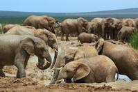 African elephants bathing in a water hole