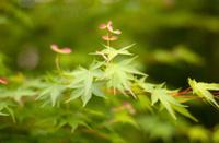 Blossom Acer (Japanese Maple)