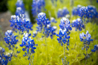 Blue Lupinus texensis flowers