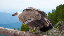 Griffon vulture  in wildness area