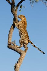 African Leopard climbing, South Africa