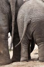 Elephant behinds