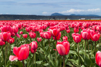 Pink tulip field with cloudy sky