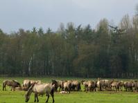 Many wild horses in Germany