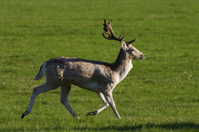 Early morning run fallow deer buck