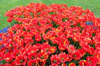 Red Tulips Purple Hyacinth Green garden