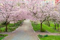 Blooming cherry tree park