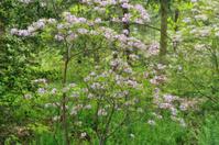 Azalea in Blossom