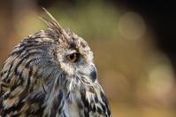Side-on portrait of a Cape Eagle Owl