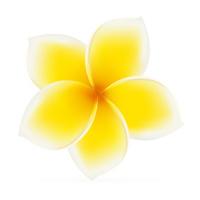 Plumeria / Frangipani - Asian yellow, white flower.  Isolated ve
