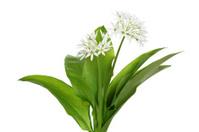 ramson (allium ursinum) isolated on white