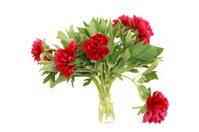 Red peonies in vase