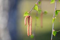 Spring. Birch catkins (Buds)