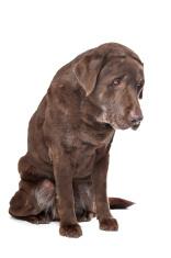 Old sad chocolate Labrador