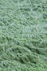 Grass floating in the wind on farmland