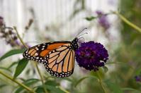 Beautiful Monarch Butterfly!